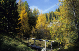 Austria, Hohe Tauern National Park, Larches in autumnの写真素材 [FYI04332759]