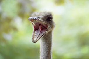 Ostrich, close-upの写真素材 [FYI04332838]