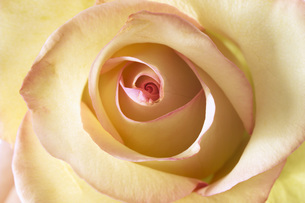 Yellow rose, close-upの写真素材 [FYI04332860]