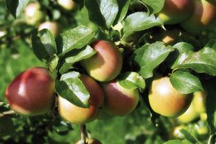 Apples on the treeの写真素材 [FYI04332905]