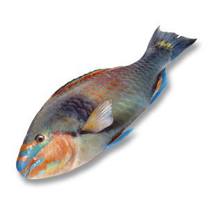 Parrotfish, elevated viewの写真素材 [FYI04332925]