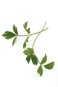 Lovage leaf, close-upの写真素材 [FYI04332947]