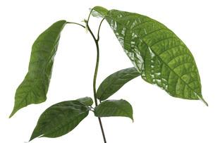 Cacao plantの写真素材 [FYI04332949]