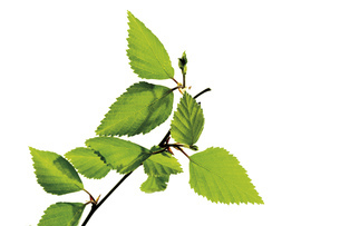 Birch leaves, close-upの写真素材 [FYI04333078]