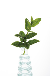 Mint in vase (Mentha spicata var. crispa), close-upの写真素材 [FYI04333085]