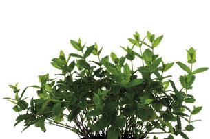 Bunch of mint (Mentha spicata var. crispa), close-upの写真素材 [FYI04333087]