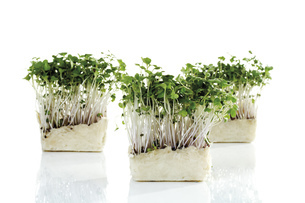 Cress sprouts, close-upの写真素材 [FYI04333089]