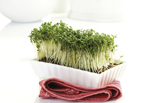 Cress sprouts in plastic boxの写真素材 [FYI04333196]