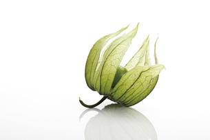 Unripe Physalis fruit (Physalis peruviana), close-upの写真素材 [FYI04333274]