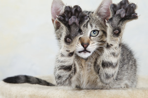 Domestic cat, kitten stretching out paw, portrait, close-upの写真素材 [FYI04333465]