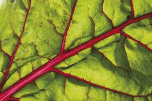 Swiss chard, leaf, full frame, close-upの写真素材 [FYI04333468]