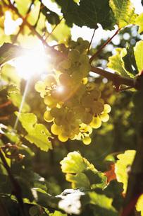 Germany, North Rhine Westphalia, Oberwesel, Green grape-vineの写真素材 [FYI04333492]