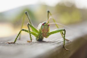 USA, Texas, Close up of grasshopperの写真素材 [FYI04333519]