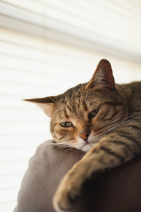 Cat relaxing on couch, close upの写真素材 [FYI04333522]