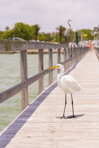 USA, Texas, View of Great Egret, Great White Heron perchingの写真素材 [FYI04333539]