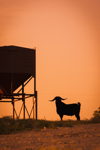 USA, Texas, Long horned goat standing next to feederの写真素材 [FYI04333548]