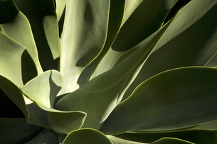 Spain, Lanzarote, plant, close-upの写真素材 [FYI04333693]