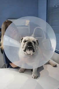 Portrait of a dog with pet cone in a veterinary clinicの写真素材 [FYI04333826]