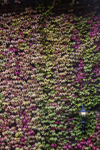 Ivy in autumnal colours covering a facadeの写真素材 [FYI04333982]