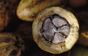 Theobroma cacao open podの写真素材 [FYI04334052]