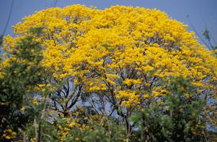 Puy or Ipe-Tree, Bignoniaceaeの写真素材 [FYI04334063]
