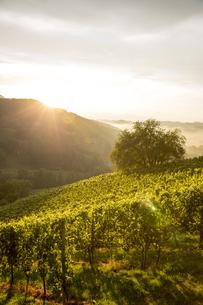 Austria, Styria, Leutschach, vineyards at wine routeの写真素材 [FYI04334248]