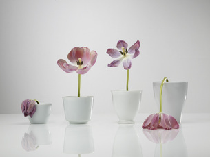 Chart built of tulip flowers vases against gray backgroundの写真素材 [FYI04334314]