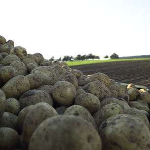 Germany, Hessen, Close up of raw potatoes in fieldの写真素材 [FYI04334340]