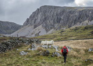 UK, Wales, Cadair Idris, Cyfrwy Arete, woman hiking on sheepの写真素材 [FYI04334442]