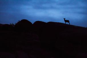 Spain, Madrid, La Pedriza, young Spanish wild goat, capra pyの写真素材 [FYI04334545]