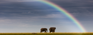 Africa,Kenya, View of African elephants in Masai Mara Nationの写真素材 [FYI04334568]