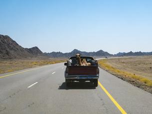 Oman, Sinaw, dromedary on pick-up truckの写真素材 [FYI04334700]