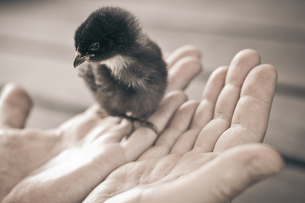 Young chicken on man's handsの写真素材 [FYI04334758]