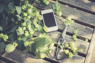 Hop tendrils, scissors and smartphoneの写真素材 [FYI04334779]
