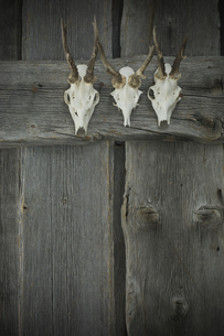 Antlers hanging on wooden wallの写真素材 [FYI04334825]