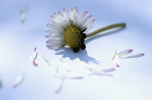 Plucked petals of a daisy flowerの写真素材 [FYI04334862]