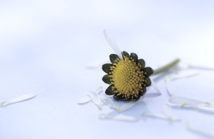 Plucked petals of a daisy flowerの写真素材 [FYI04334864]