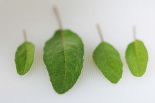 Sage, close-upの写真素材 [FYI04334865]