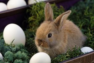 Rabbit sitting in nestの写真素材 [FYI04334967]