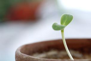 Seedling in flowerpot, close-upの写真素材 [FYI04334988]