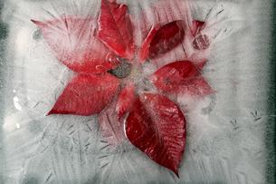 Frozen poisettiaの写真素材 [FYI04335051]