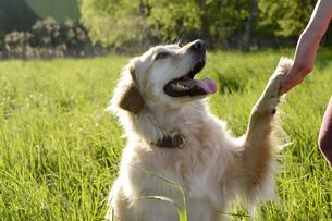 Portrait of Golden Retriever giving pawの写真素材 [FYI04335388]
