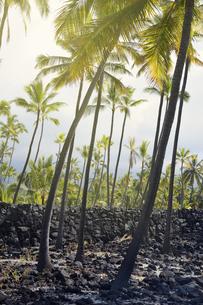 USA, Hawaii, Big Island, Honaunau-Napoopoo, palms, and igneoの写真素材 [FYI04335631]