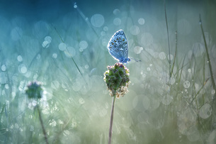 Common blue on blossom bud at backlightの写真素材 [FYI04335717]