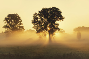 Trees on a meadow with early morning haze at sunriseの写真素材 [FYI04335718]