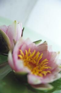 Lotus flower, close-upの写真素材 [FYI04335726]