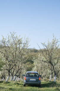 Car driving between blossomong fruit trees on a meadowの写真素材 [FYI04335738]
