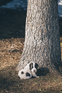 Black and white puppy sitting in front of a tree trunkの写真素材 [FYI04335740]