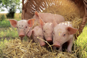 Pigs with basket in fieldの写真素材 [FYI04335975]