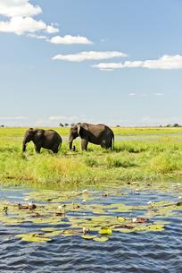 Botswana, Chobe National Park, African elephants at Chobe Riの写真素材 [FYI04336167]